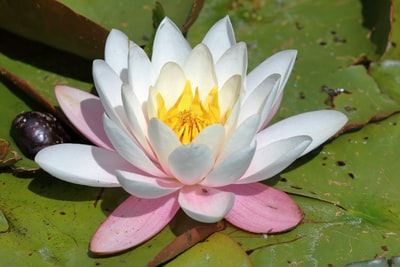 white and purple lotus flower