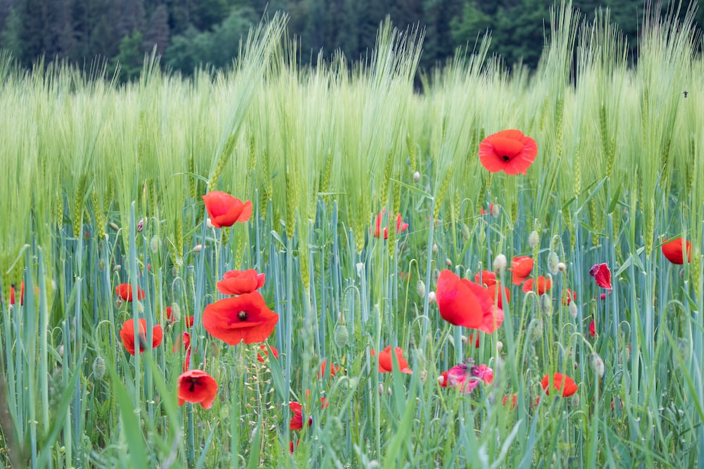red flower field during daytime