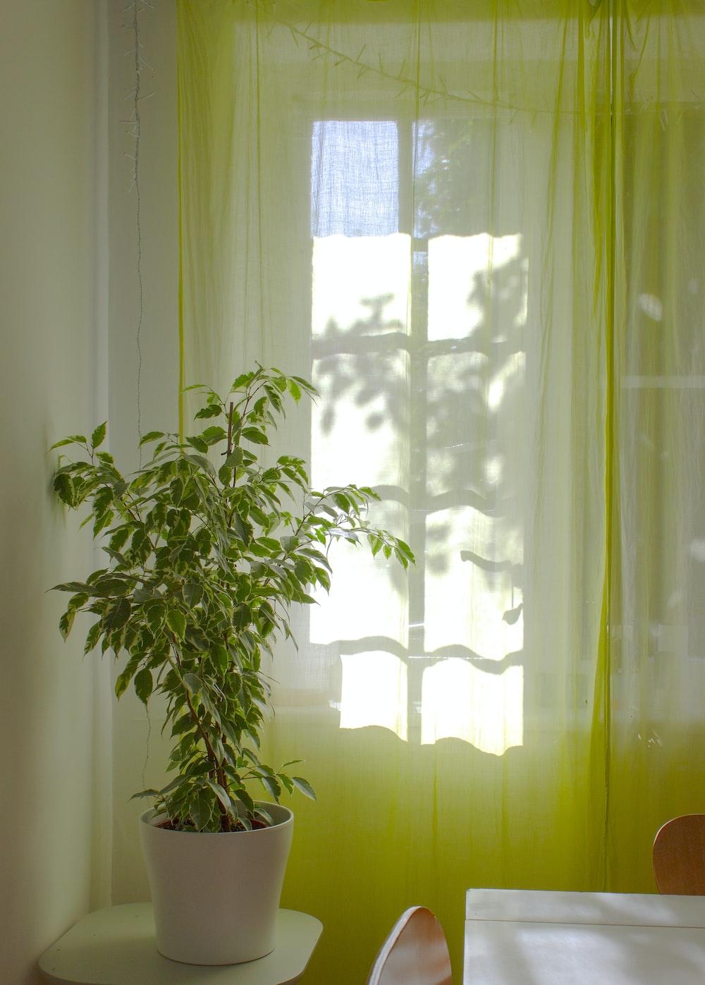 green plant near white window curtain