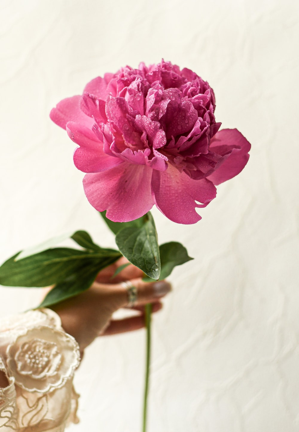 pink rose in bloom on womans hand
