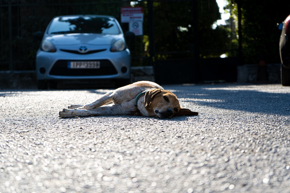 brown and white short coated dog lying on gray asphalt road during daytime