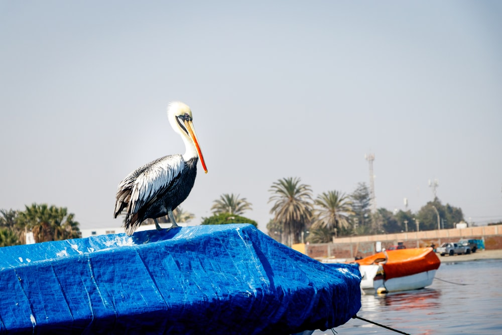 pelican on blue textile during daytime