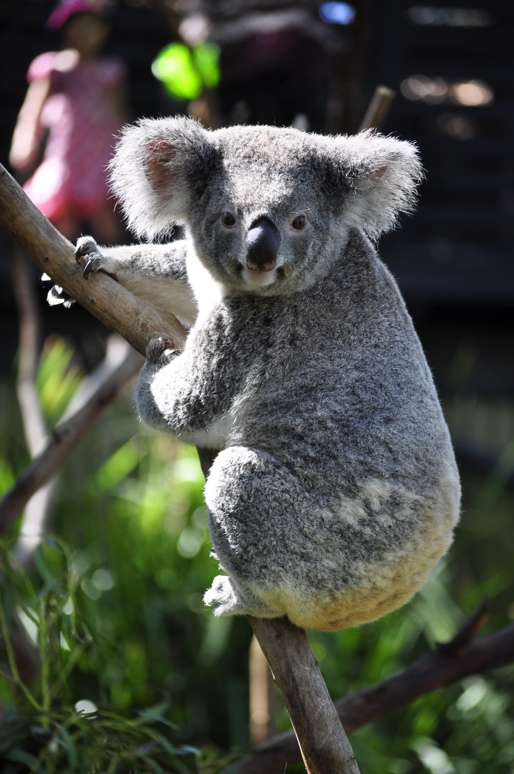 koala on tree branch during daytime