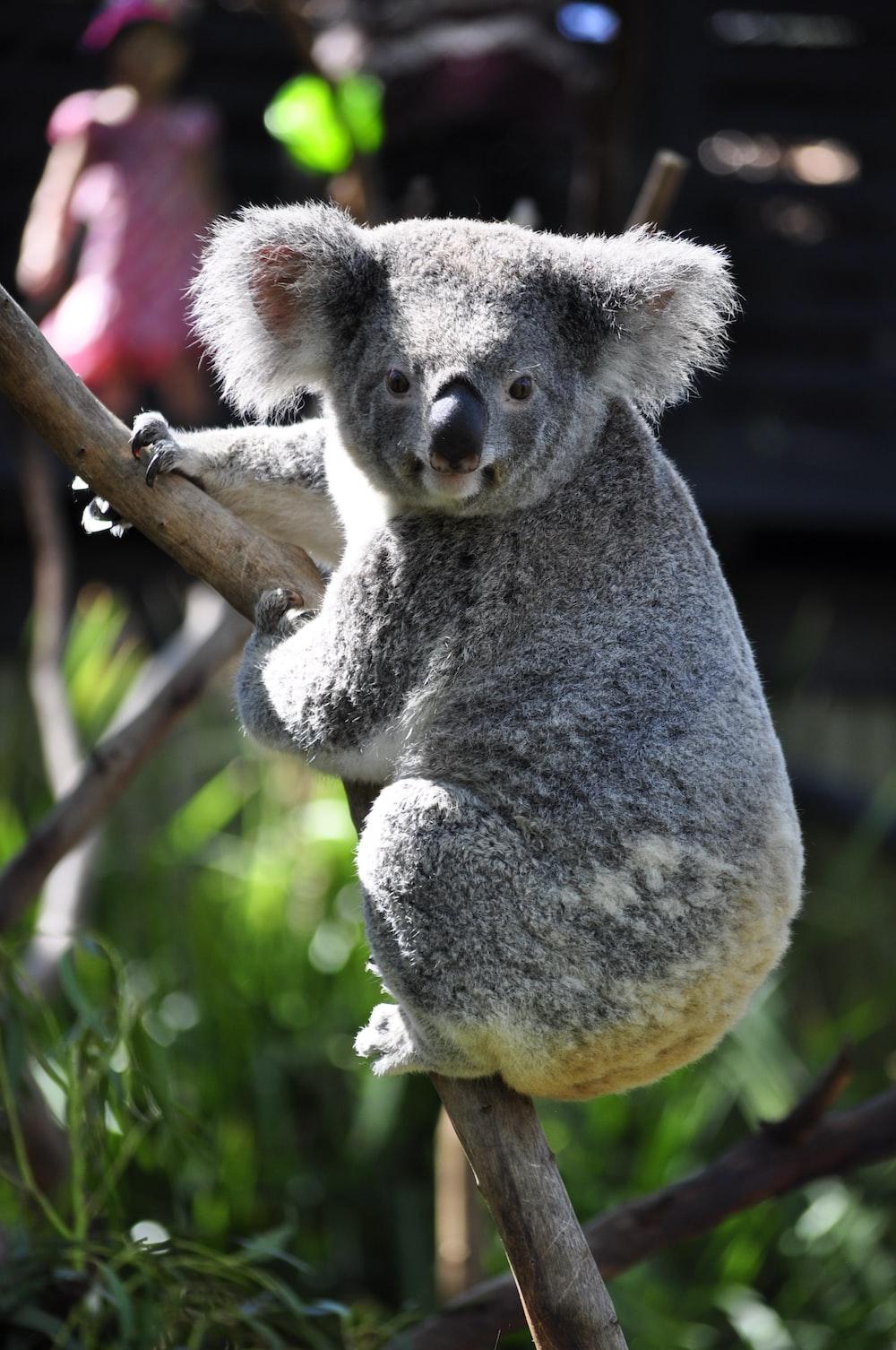 koala on tree branch during daytime