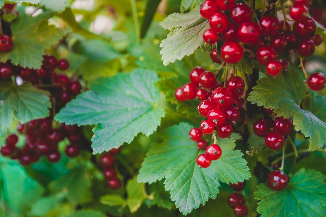 Red currant ripe fruit on plant branch