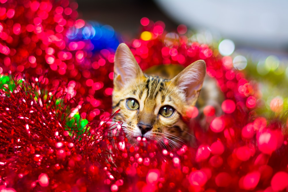 brown tabby cat in red heart shaped balloons