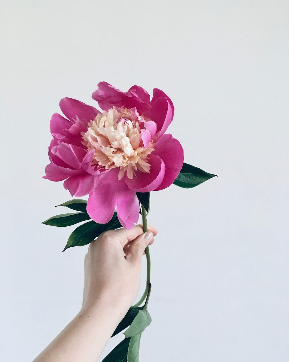 person holding pink and white flowers