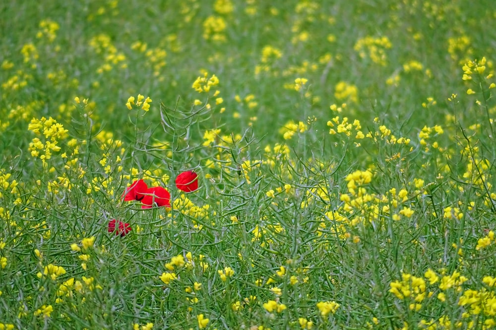 red flower on yellow flower field during daytime