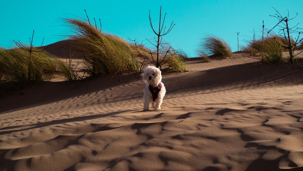 white poodle puppy on brown sand during daytime