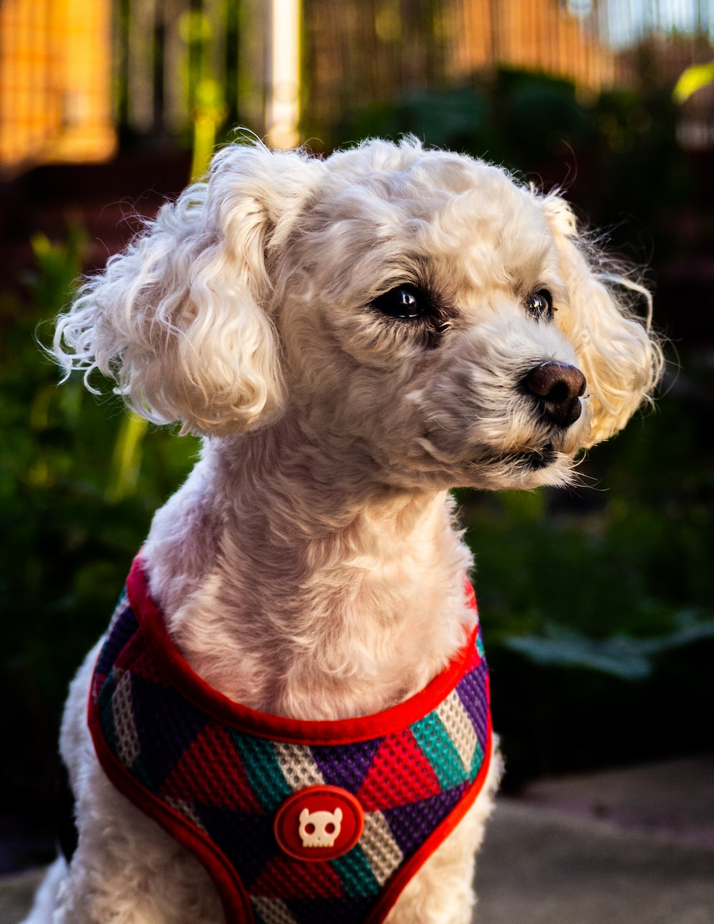 white poodle in red and black striped shirt