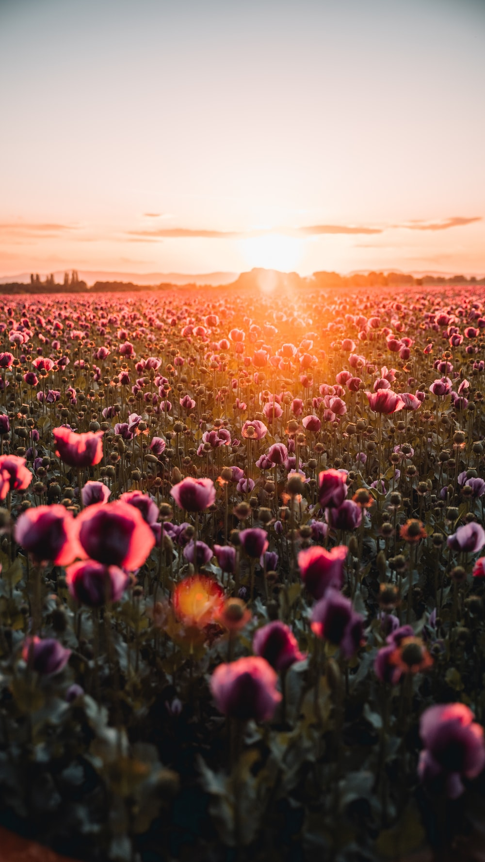 red flower field during sunset