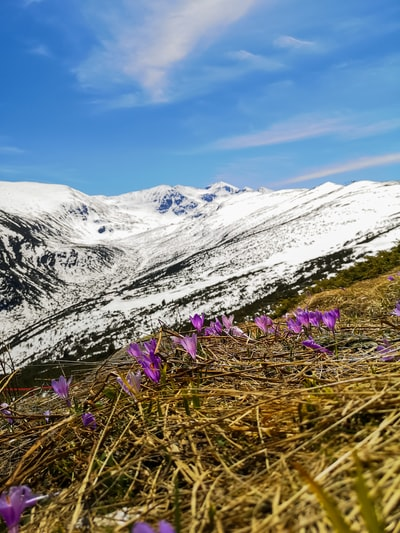 purple flower on green grass field near snow covered mountain during daytime