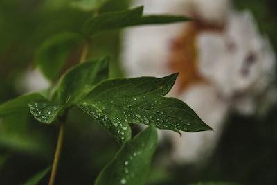 green leaf in tilt shift lens four leaf clover teams background