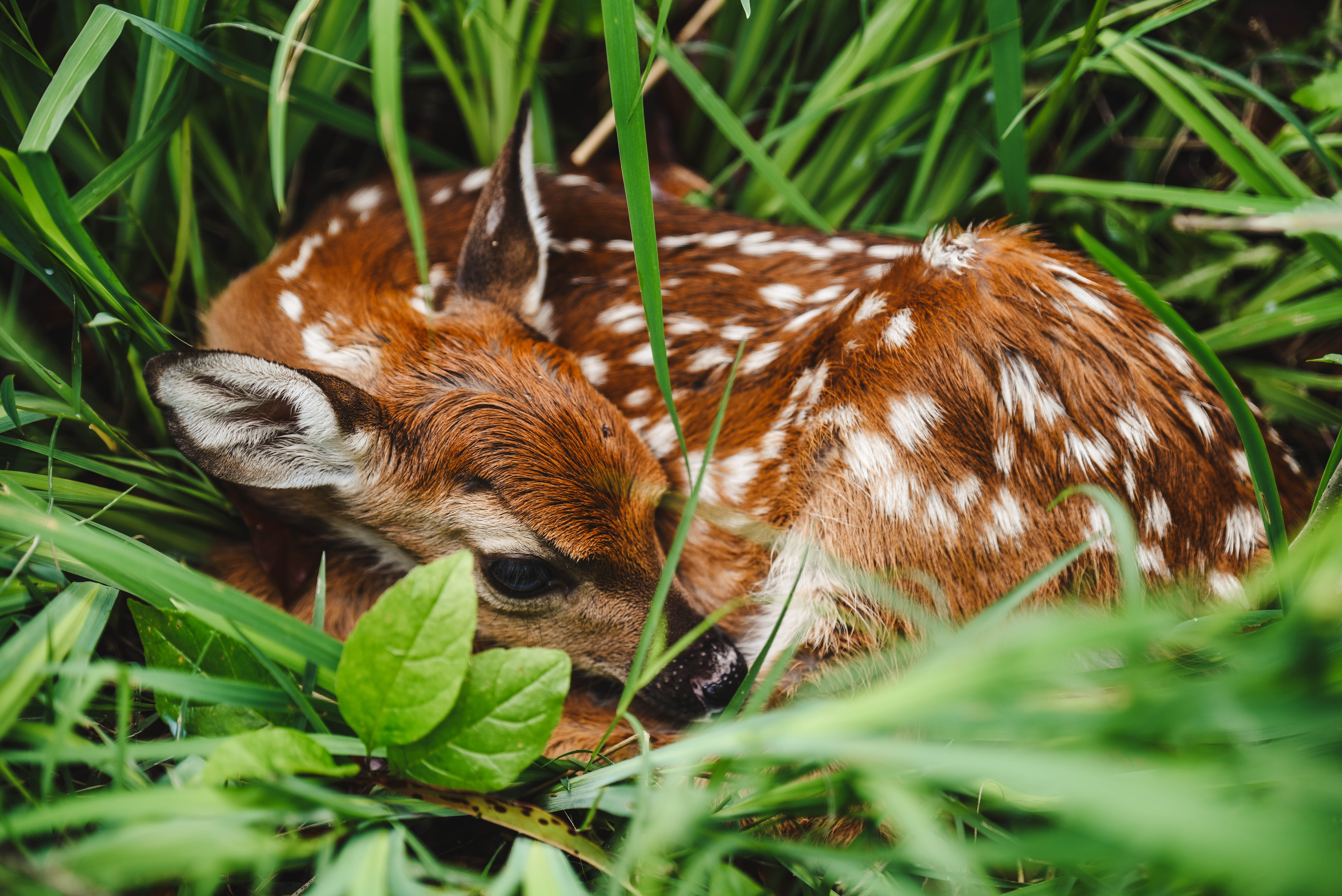 brown and white spotted deer on green grass during daytime