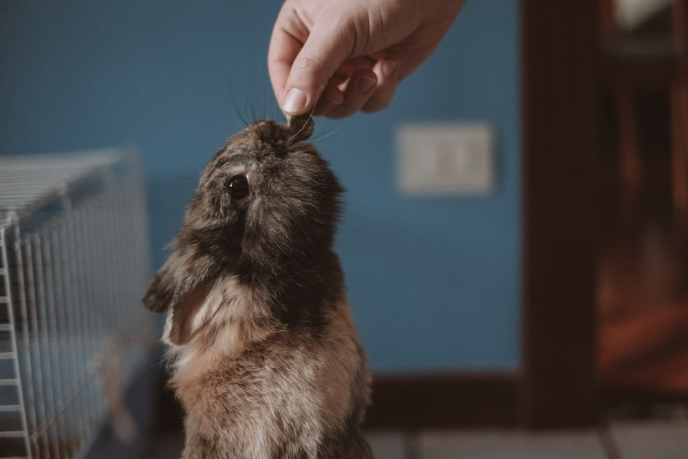 person holding brown and black rodent