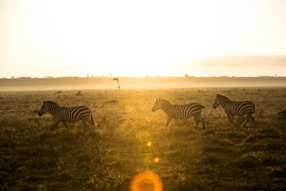 zebra standing on grass field during daytime