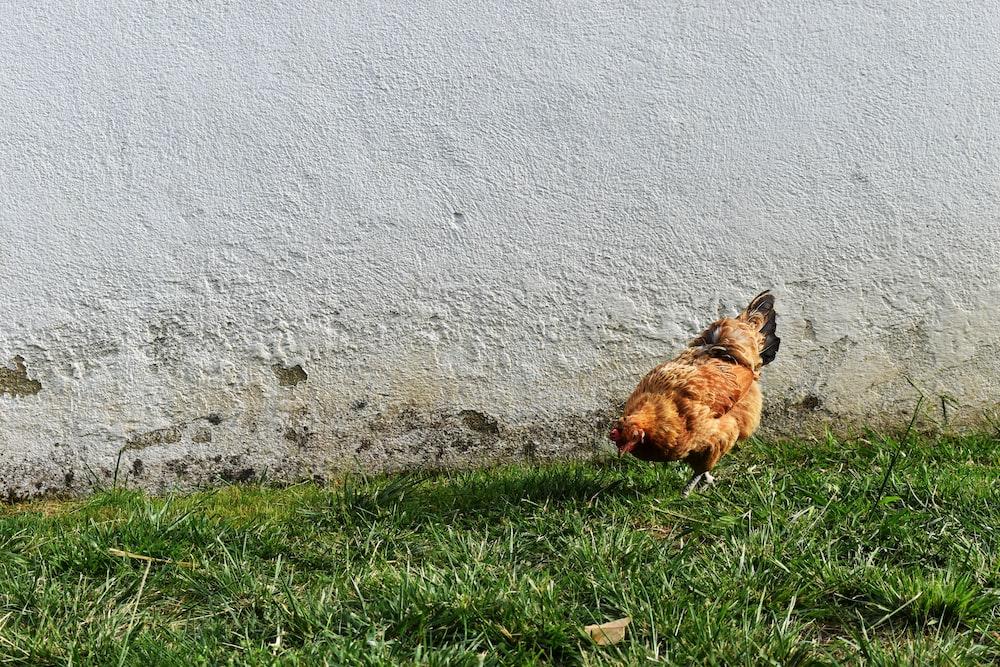 brown hen on green grass field
