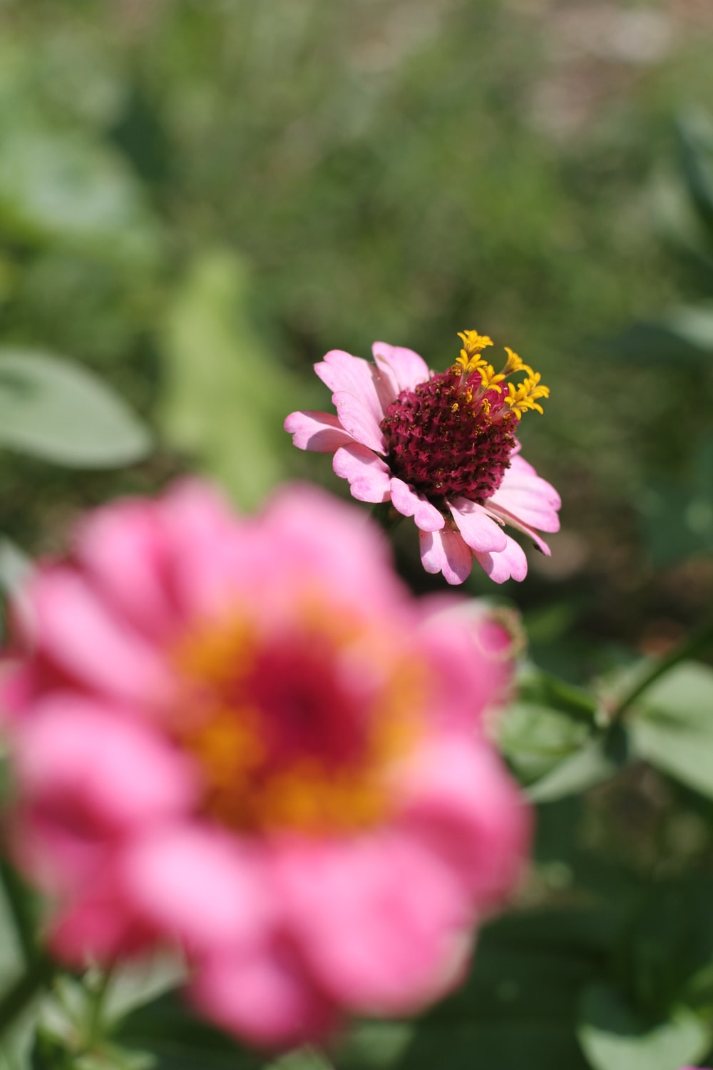 pink and yellow flower in tilt shift lens