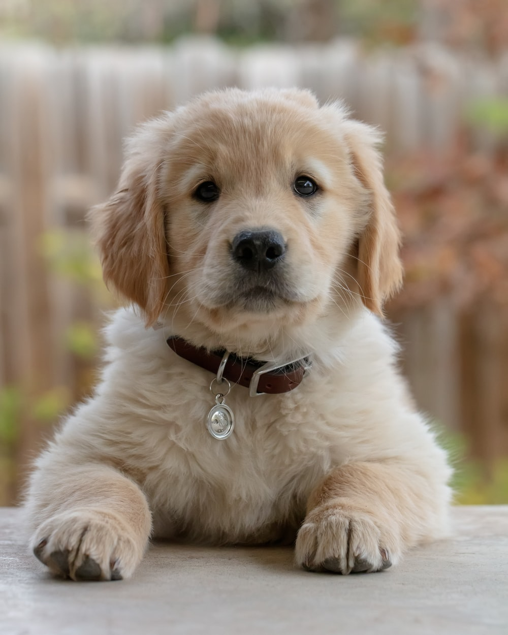 golden retriever puppy on focus photo
