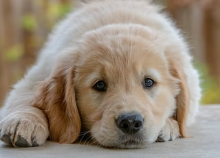 golden retriever puppy lying on floor