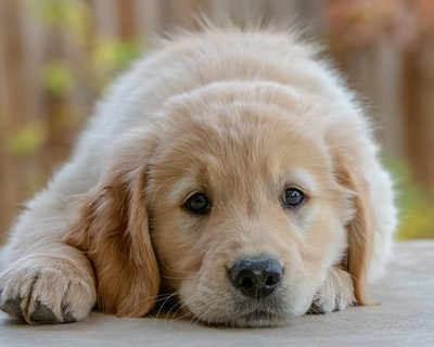 golden retriever puppy lying on floor puppy zoom background