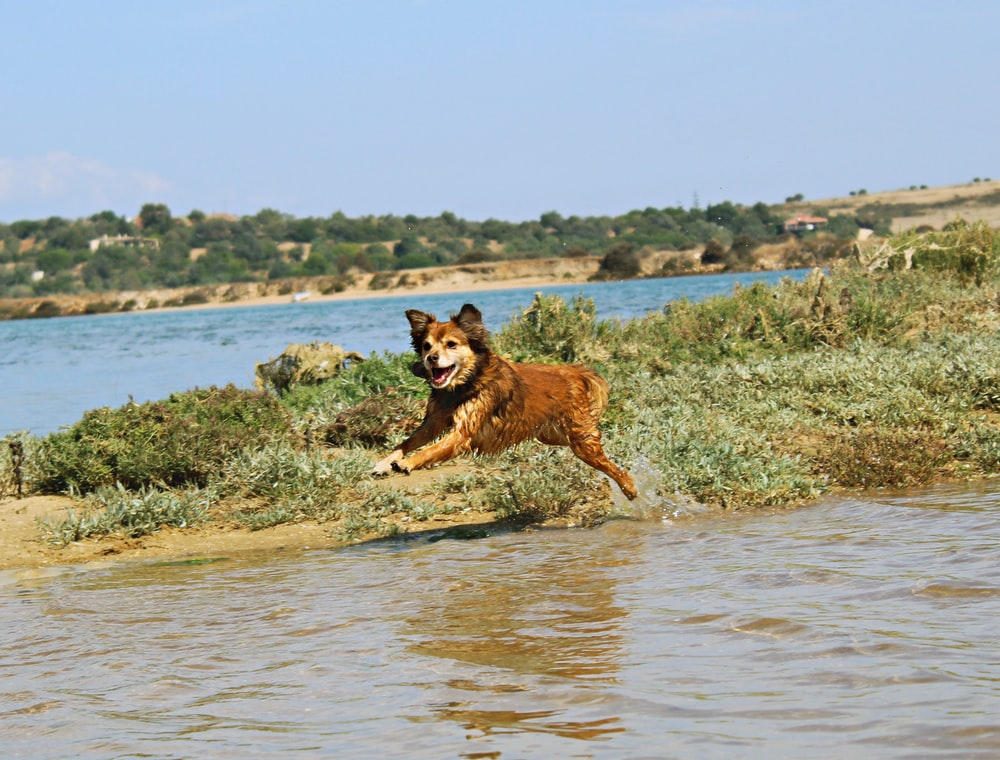 brown and black short coated dog running on water during daytime