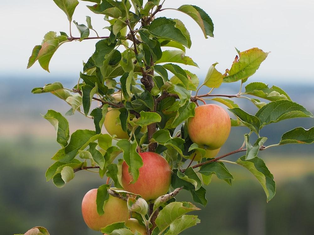 red apple fruit on tree