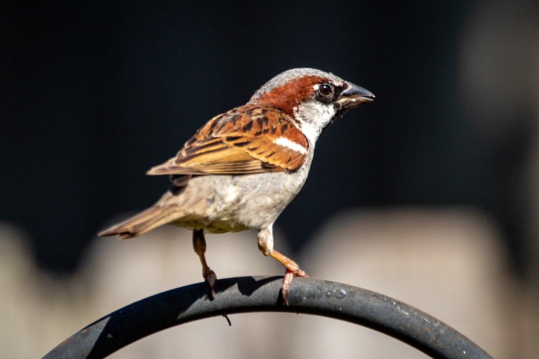 A house sparrow perched on the bird feeder pole in my backyard.