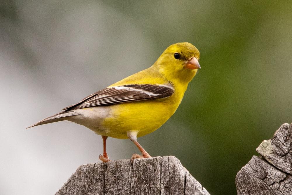 yellow and black bird on brown wooden post