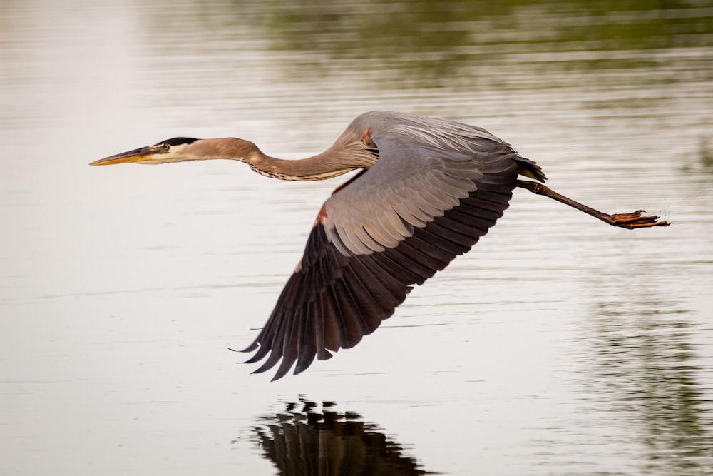 grey heron flying over the lake during daytime