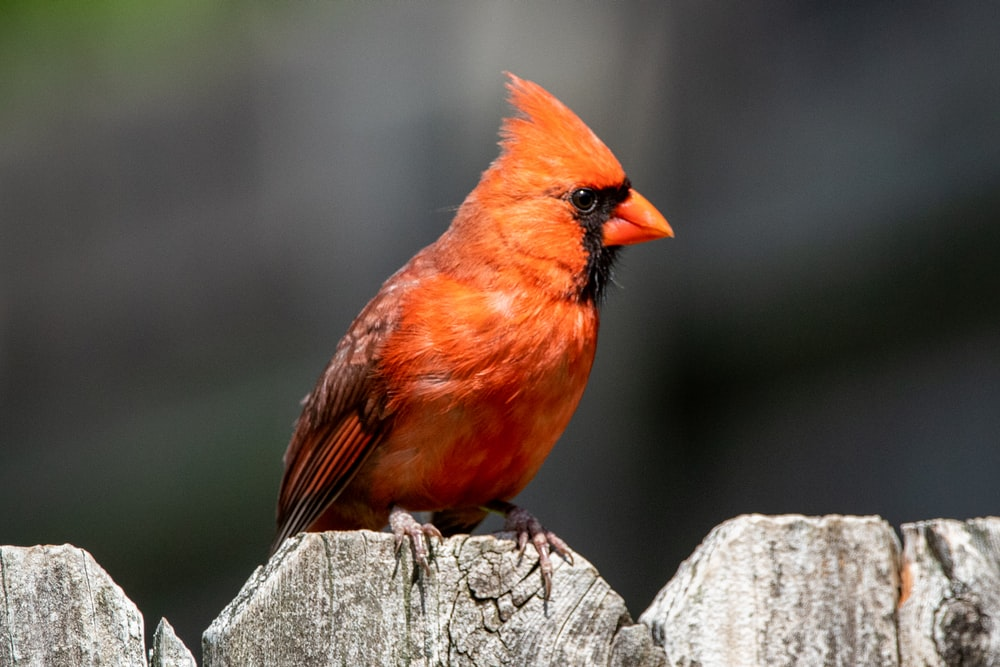 red cardinal perched on gray wooden fence