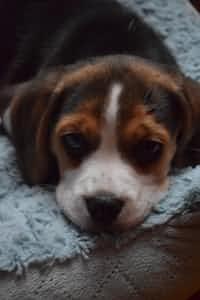 Snickers the Beagle doog stories