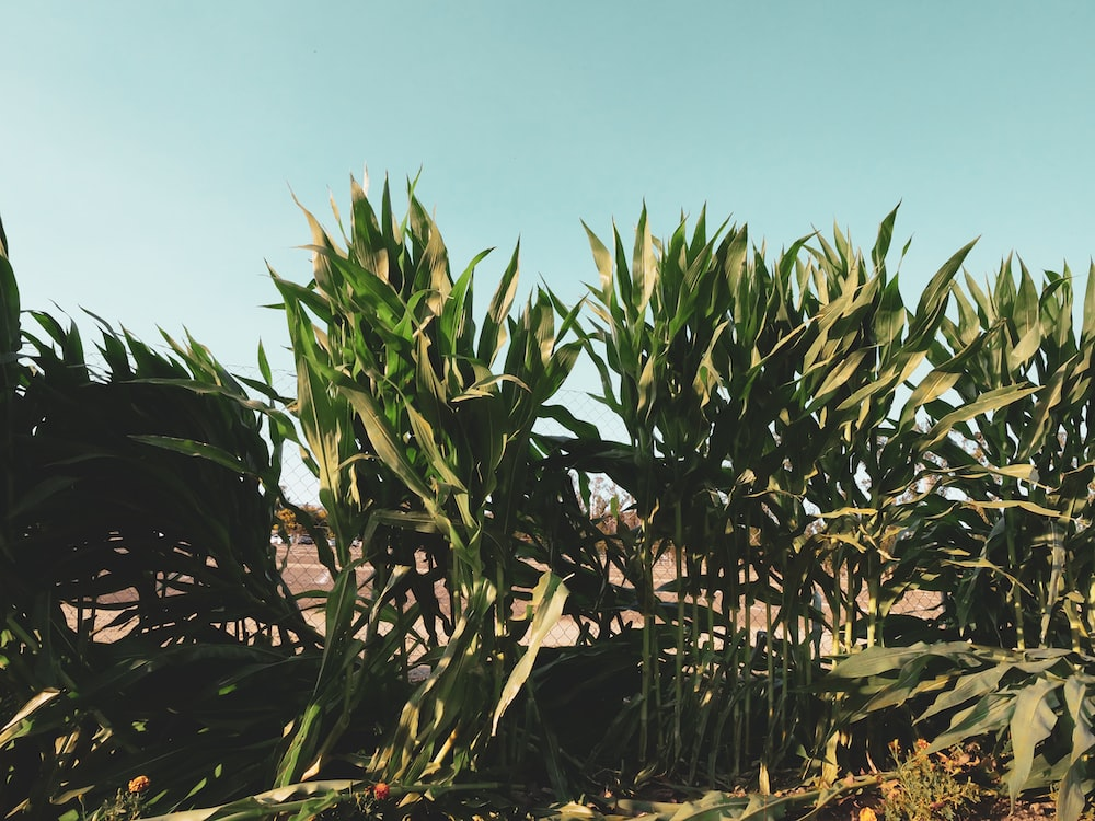 green corn plant under blue sky during daytime