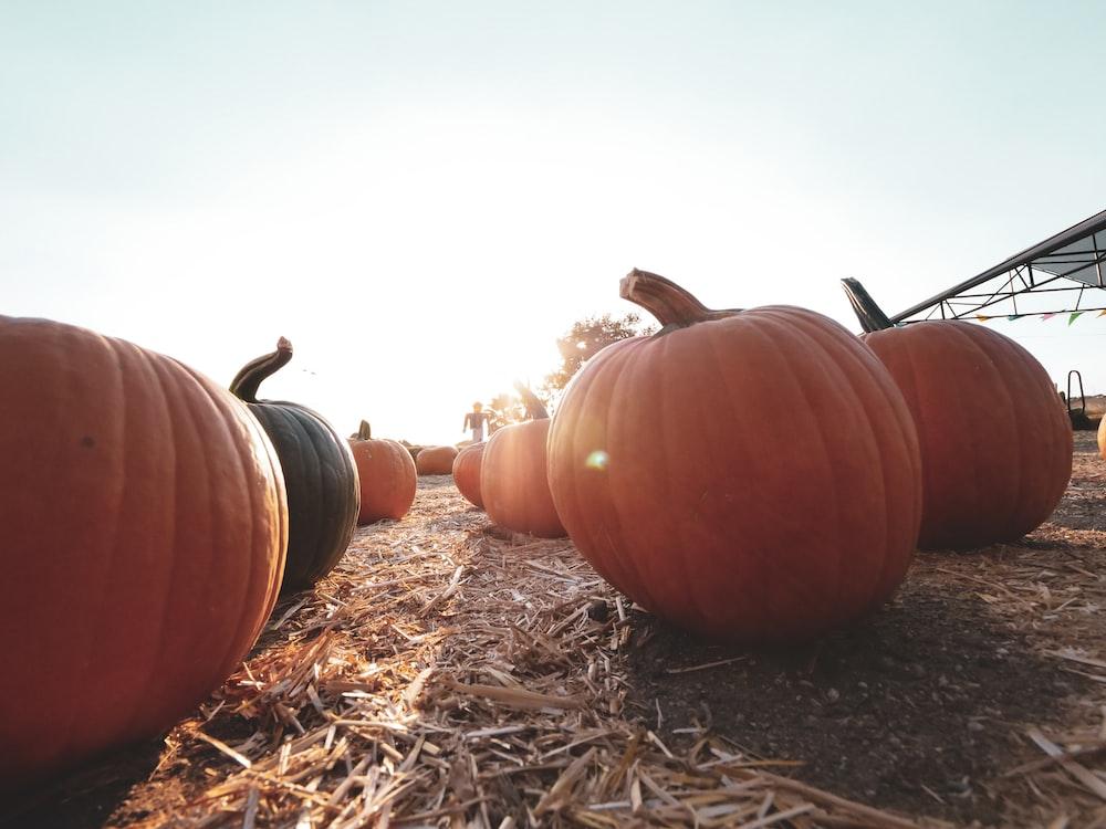 orange pumpkin on brown dried grass during daytime