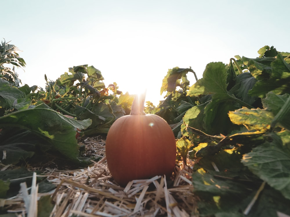 pumpkin on ground with green leaves
