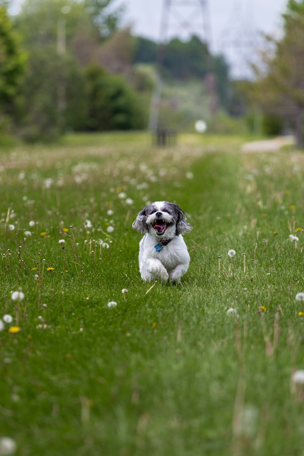 white and black shih tzu puppy on green grass field during daytime