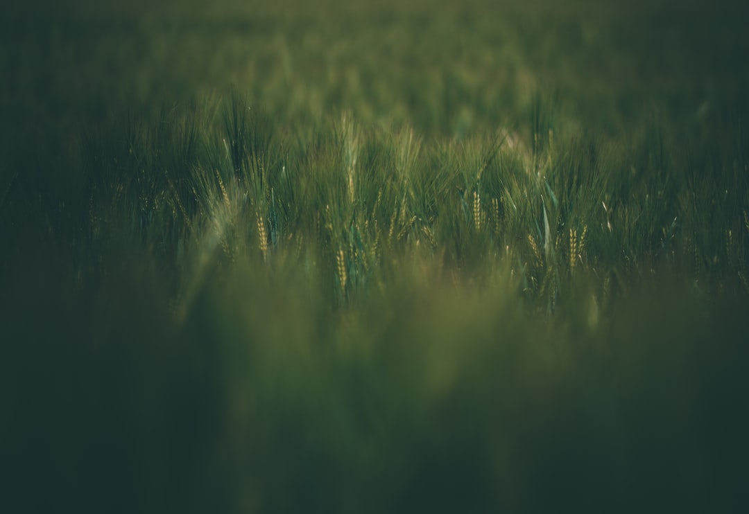 wheat - unsplash