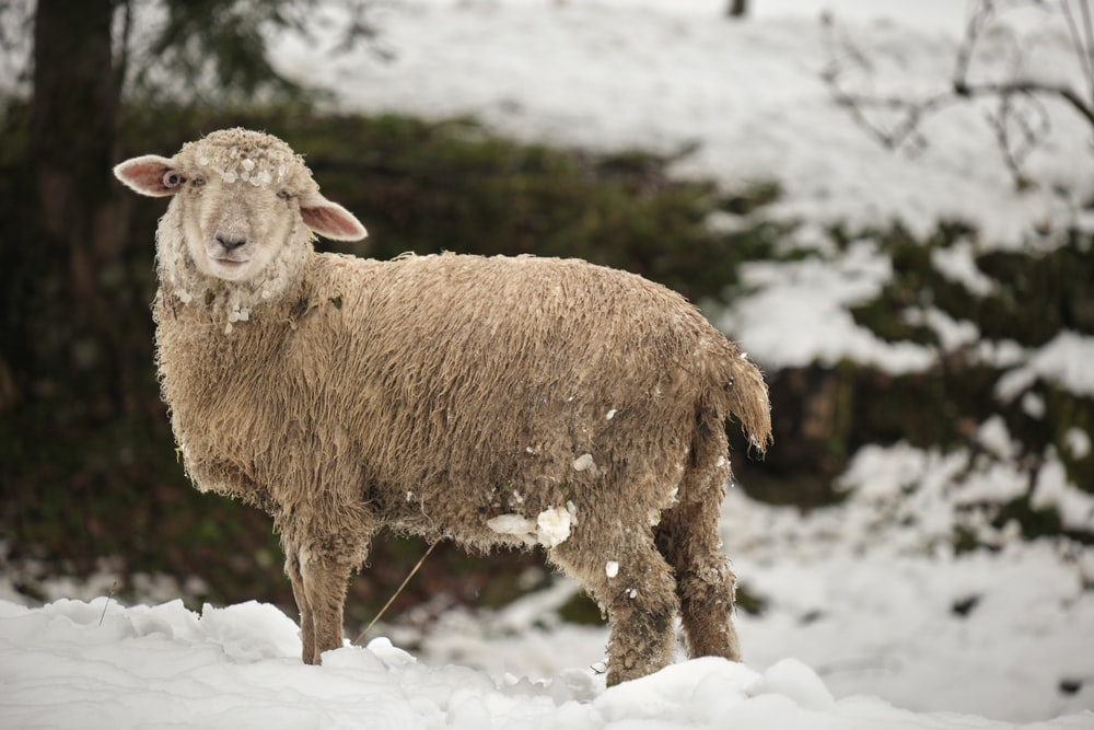 brown sheep on snow covered ground during daytime