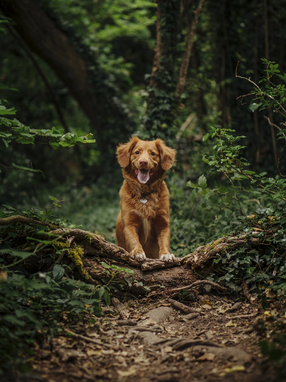 brown short coated dog running on brown soil