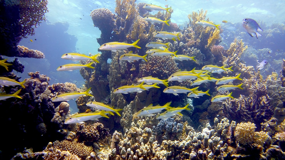 yellow and black fish under water