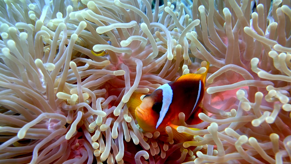 clown fish on white coral reef