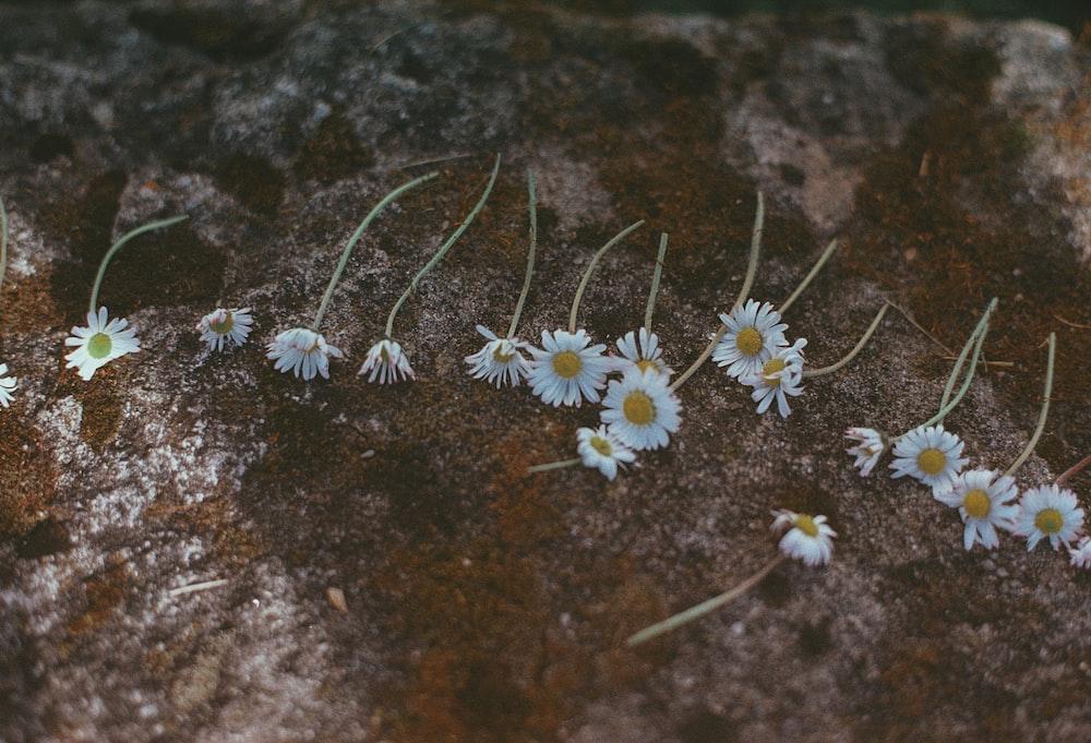 white daisy flowers on brown soil