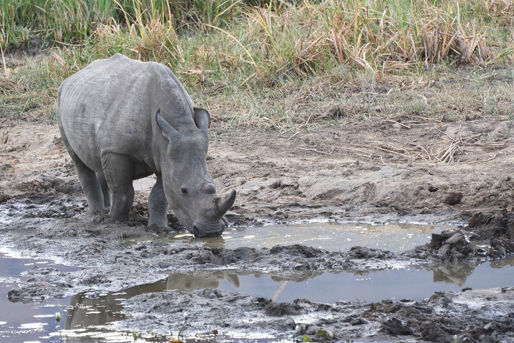 gray rhinoceros on water during daytime