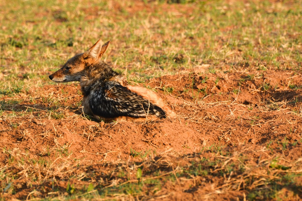 brown and black fox lying on brown grass field during daytime