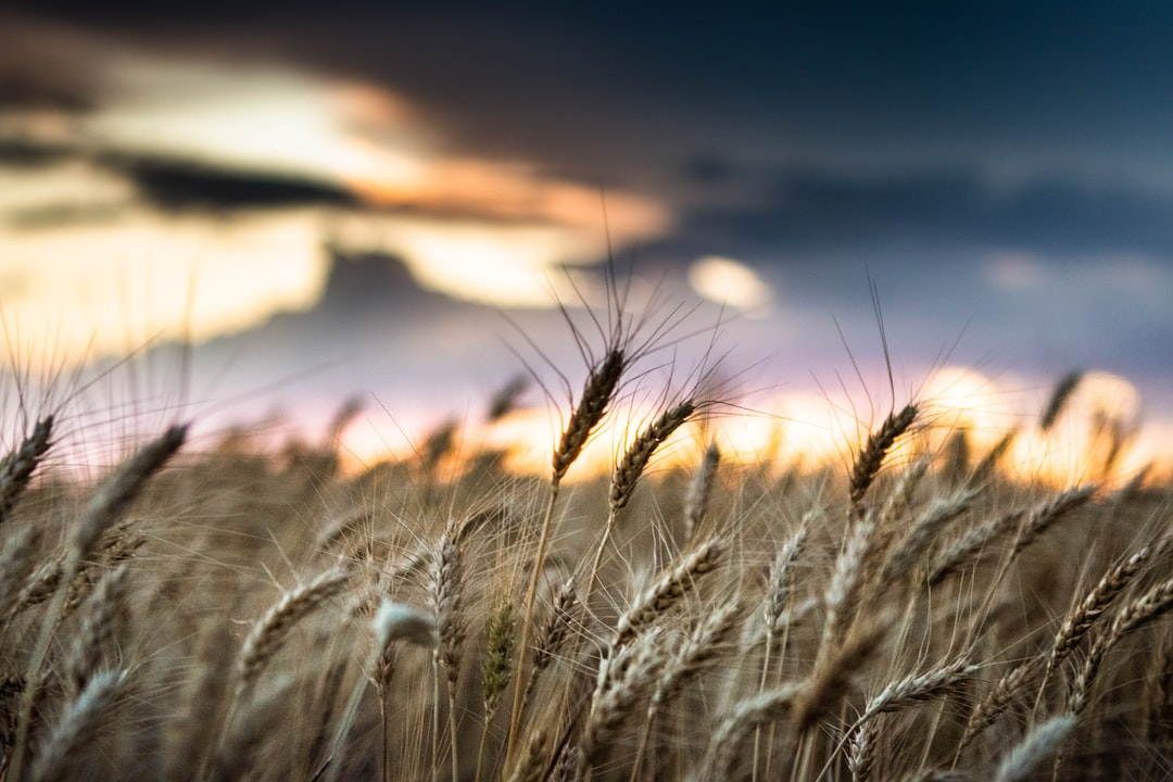 Brown Wheat Field During Sunset - unsplash