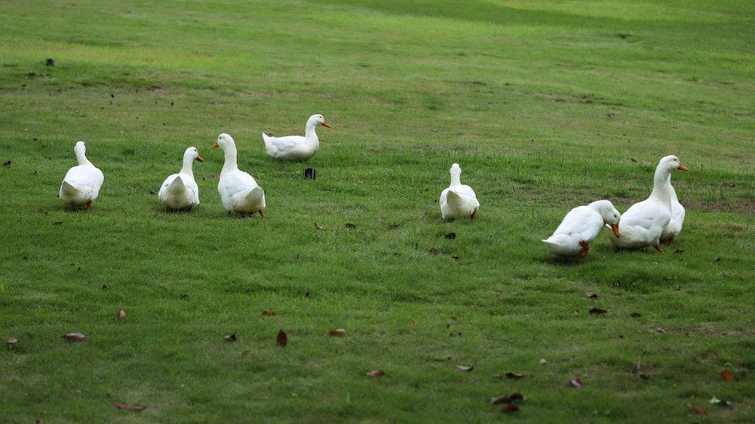 Ducks raised in college