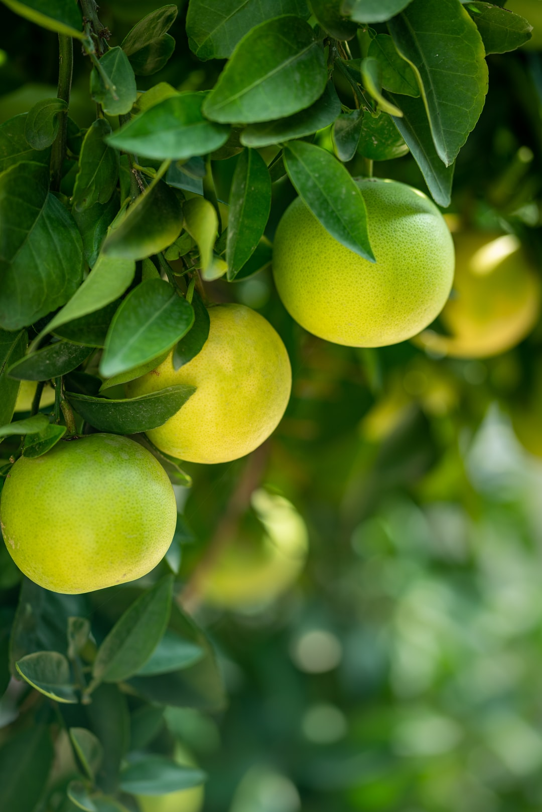 Close up shot of unripe green oranges hanging with tree