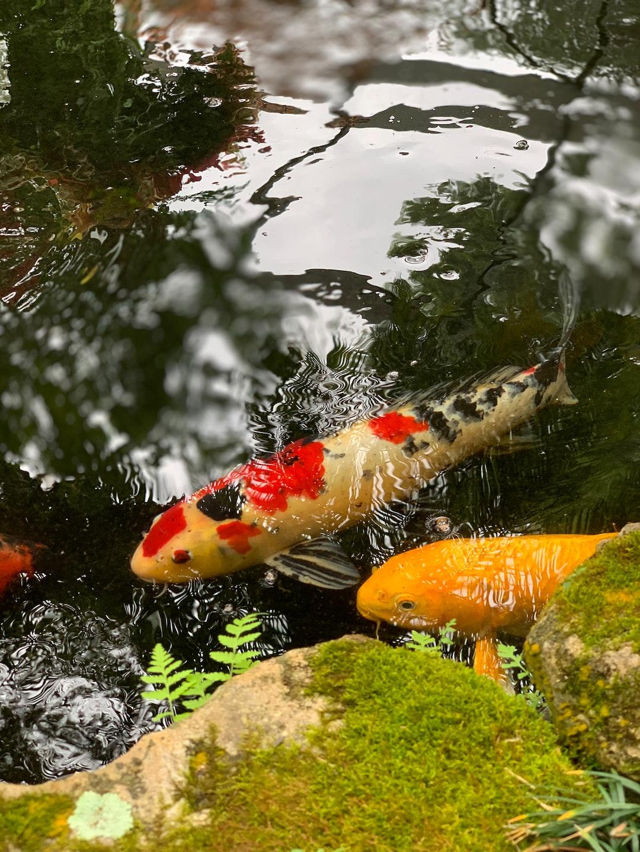 Teknik Budidaya Ikan Koi Agar Berkembang Lebih baik