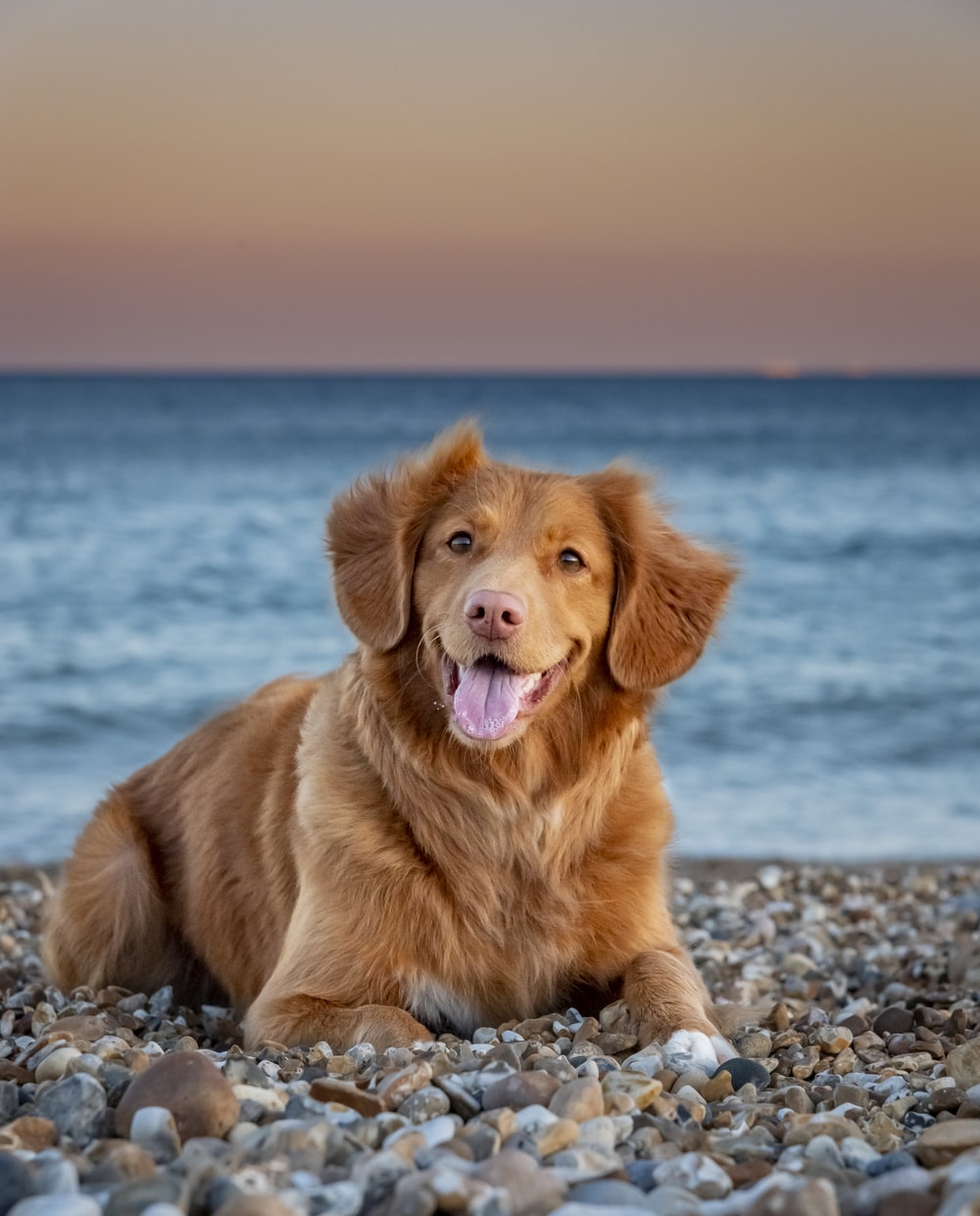golden retriever sitting on the beach during daytime