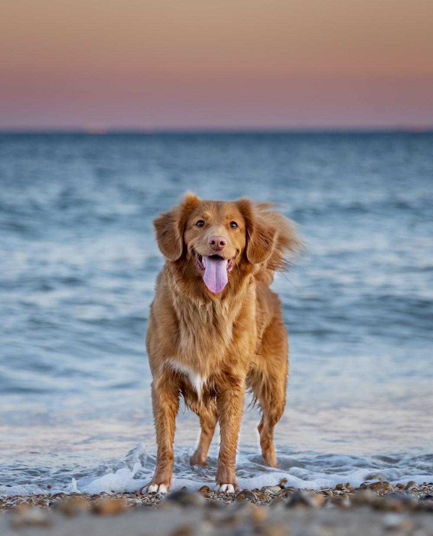 golden retriever sitting on seashore during daytime
